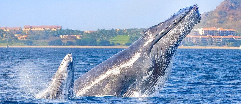 Whale Watching in Banderas Bay
